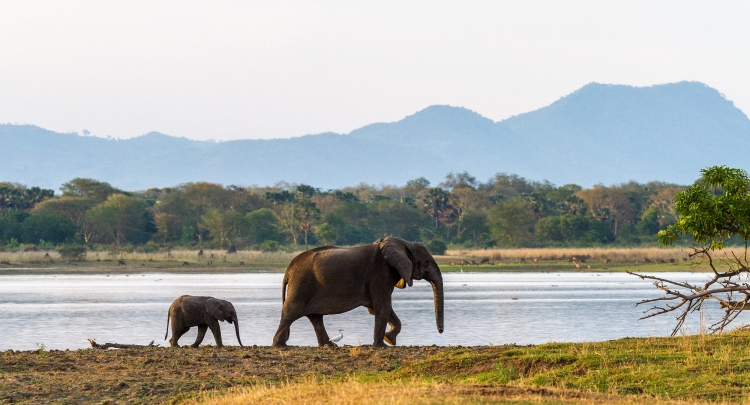 Mother and calf at Liwonde National Park Malawi